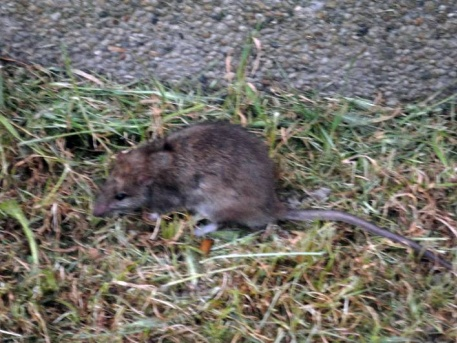 Patkány az egyik fővárosi utcában (olvasói fotó)