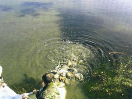 Vízbe engedték a pontyokat (forrás: RDHSZ)