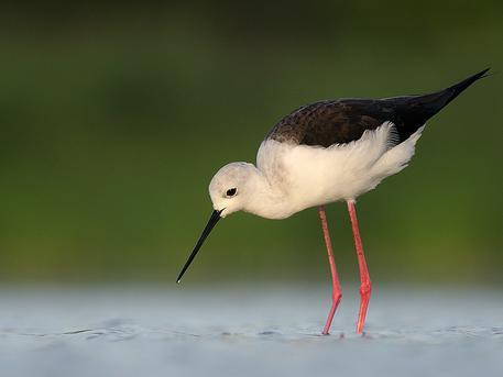 A gólyatöcs lesz a 2019-es év madara (fotó: turizmus.com)