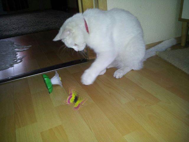 Mofli cica